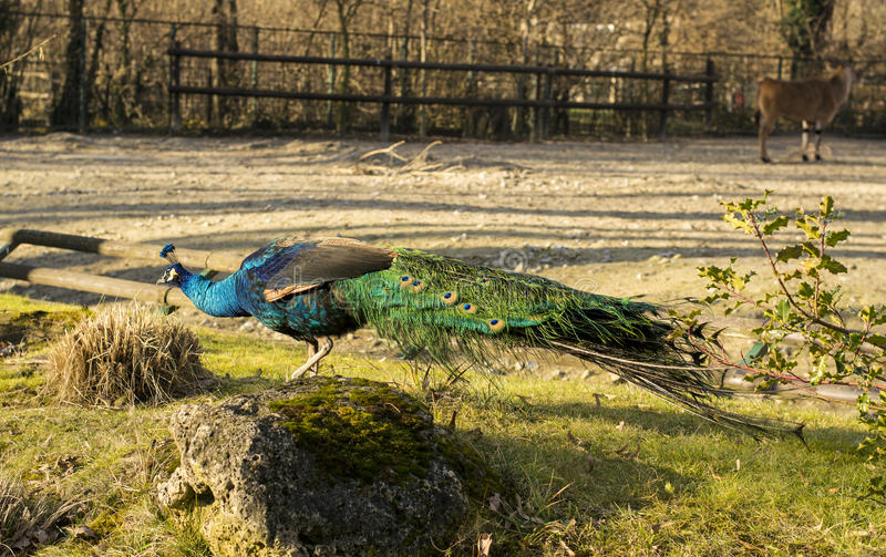 Peafowl (Peacock). Peafowl include two Asiatic species (the blue or Indian peafowl originally of India and Sri Lanka and the green peafowl of Burma, Indochina royalty free stock image