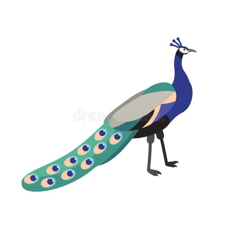 Peafowl or peacock isolated on white background. Beautiful graceful exotic tropical bird with bright colored extravagant. Plumage. Wild fauna. Colorful vector vector illustration