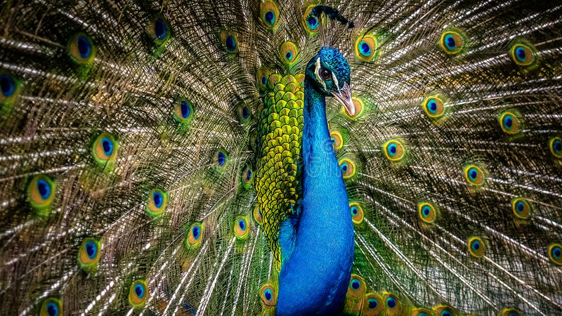 Peafowl. Is a common name for three species of birds in the genera Pavo and Afropavo of the Phasianidae family, the pheasants and their allies. Male  are royalty free stock photos