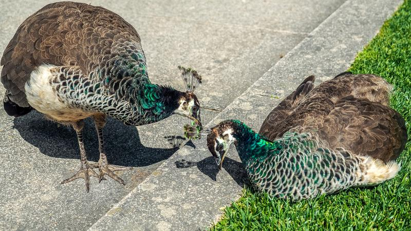 Peafowl. Is a common name for three species of birds in the genera Pavo and Afropavo of the Phasianidae family, the pheasants and their allies. Male  are stock images