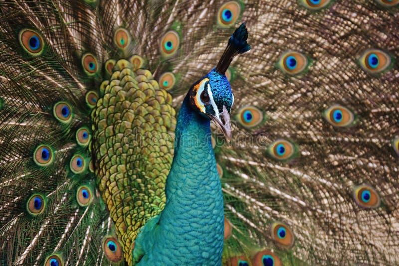 Peafowl, piórko, Galliformes, fauna obraz royalty free