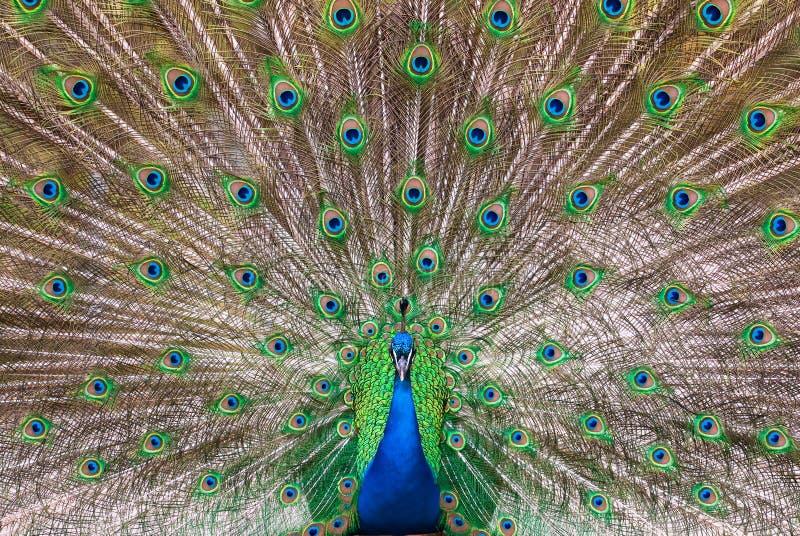 Peafowl plumage (lat. Pavo cristatus). Central view of a male Indian Peafowl's (lat. Pavo cristatus) plumage royalty free stock image