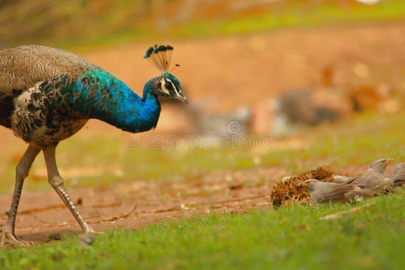 Peafowl ptak i rodzina baya tkacza ptak zdjęcia royalty free