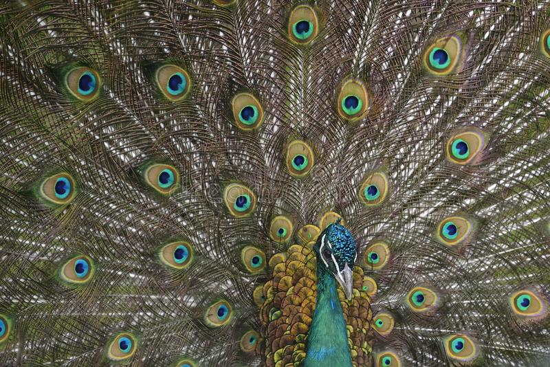 Peafowl. With tail ( green and blue eyespots colors royalty free stock photos