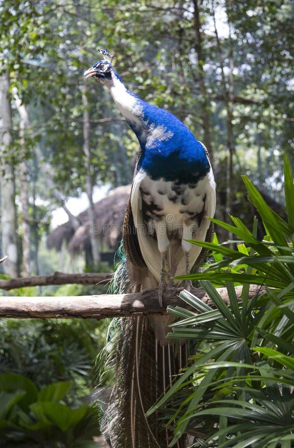Peafowl verde immagini stock libere da diritti