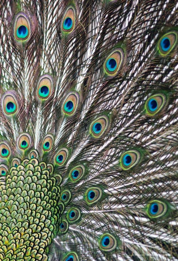 Peafowl verde immagine stock