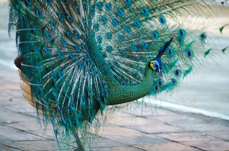 Peafowl verde de Tailândia imagem de stock