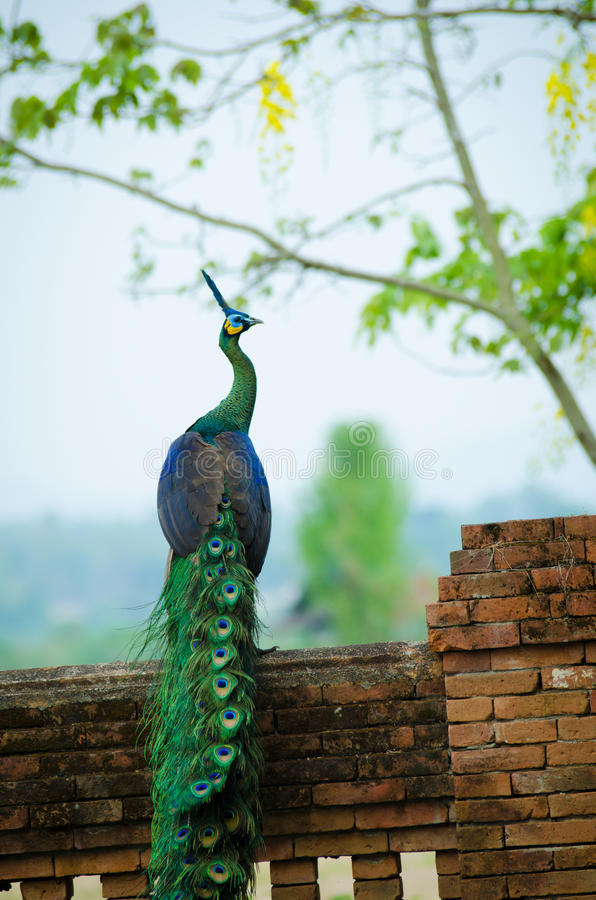 Peafowl verde de Tailândia fotos de stock