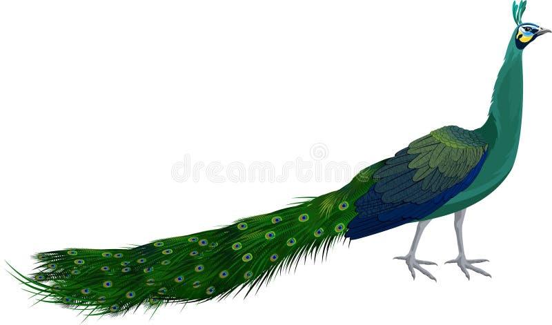 Peafowl verde masculino do vetor ilustração do vetor