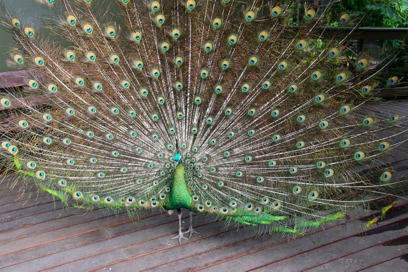 Peafowl verde masculino (pavão) fotografia de stock royalty free