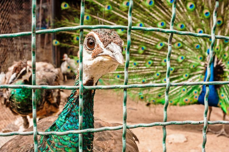 Peafowl verde-necked curioso que pega su mirada a través de las barras imagen de archivo libre de regalías