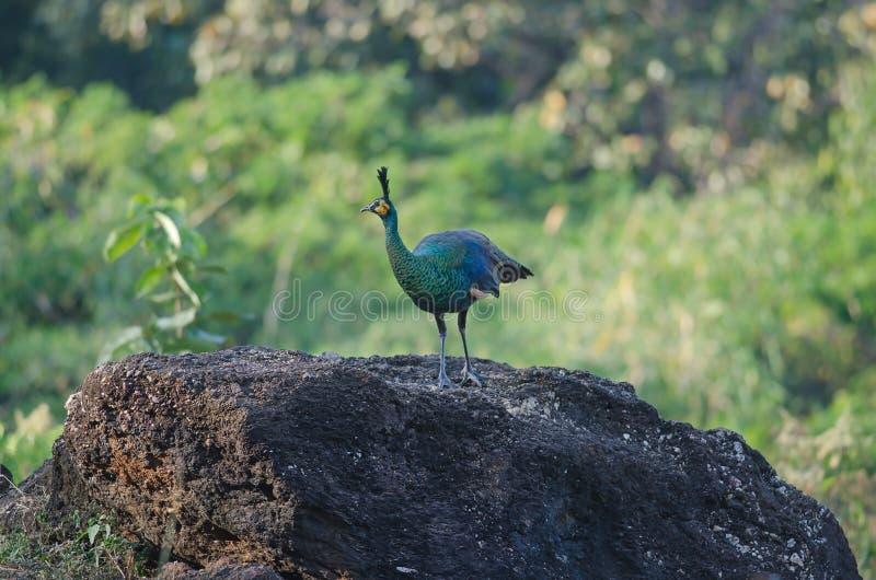 Peafowl verde, pavão na natureza imagens de stock