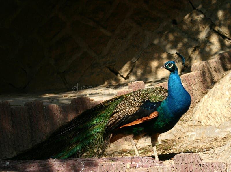 Peafowl vert photographie stock libre de droits