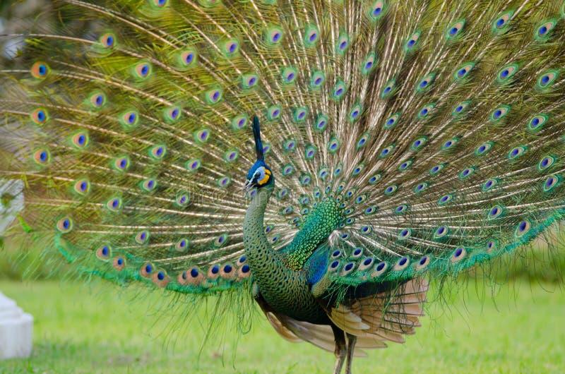 Peafowl vert de la Thaïlande photographie stock libre de droits