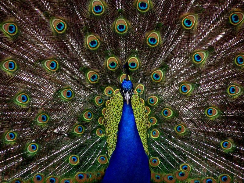 Peafowl, Vertebrate, Feather, Galliformes stock image