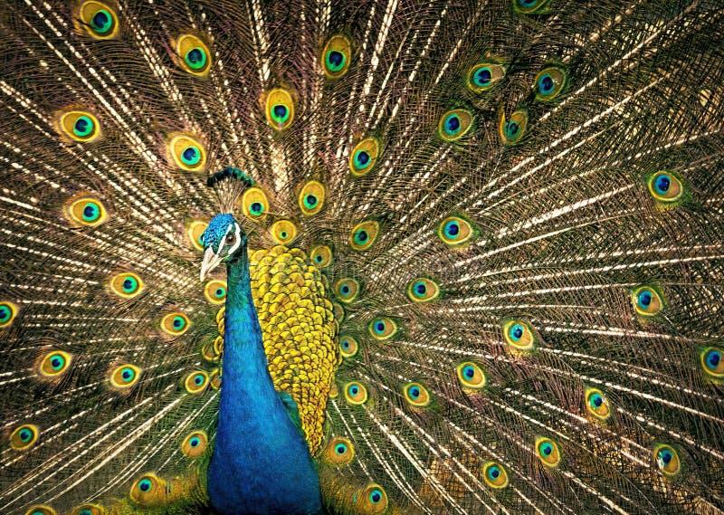 Peafowl, Vertebrate, Galliformes, Feather Free Public Domain Cc0 Image