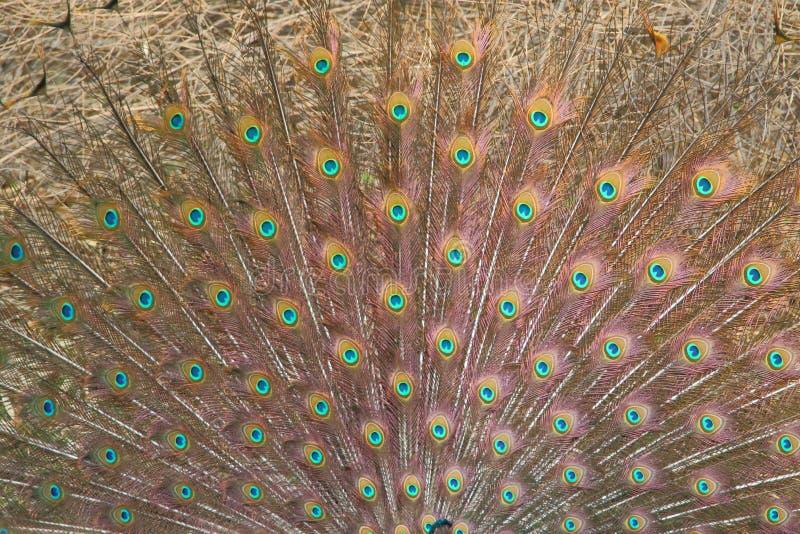 Peafowlfjädrar, indisk nationell fågel royaltyfri bild