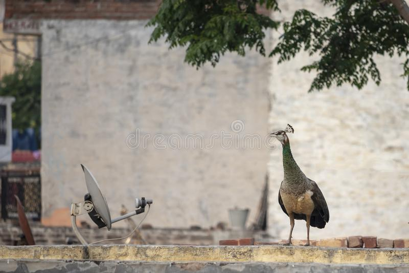 A Peahen roaming around. My house in Jalandhar, Punjab royalty free stock photos