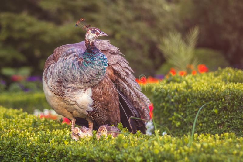 Peafowl with peacock chicks in the park stock photography