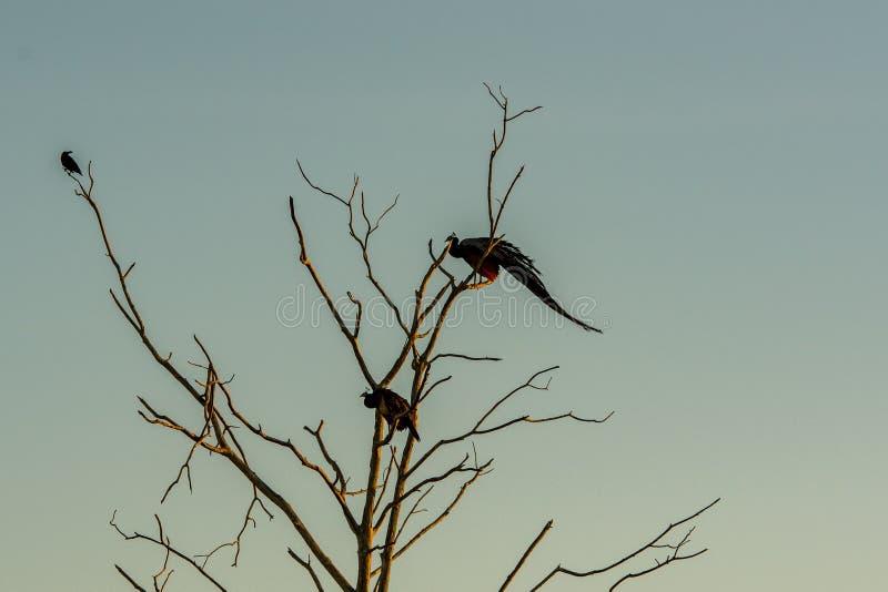 Peakcok in the Udawalawe National Park on Sri Lanka. Peakcok in the Udawalawe National Park on Sri Lanka stock photos