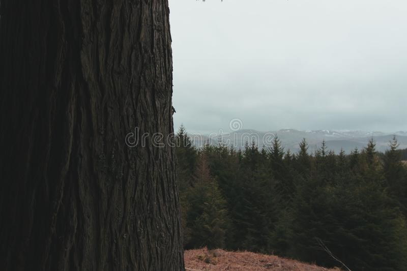Peaks on peaks. Mountains peaking out over the canopy of a pine forest stock images