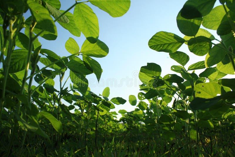 Peanut fields stock image