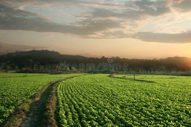 Peanut fields royalty free stock photo