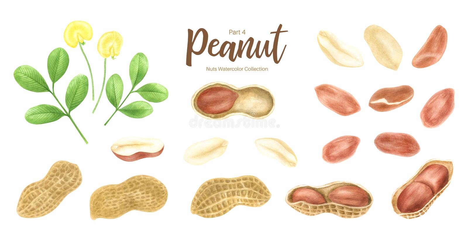 Peanut. Groundnut whole , halves, in shell and individual kernels isolated on white background set.Traditional and. Healthy peanut butter breakfast food stock illustration