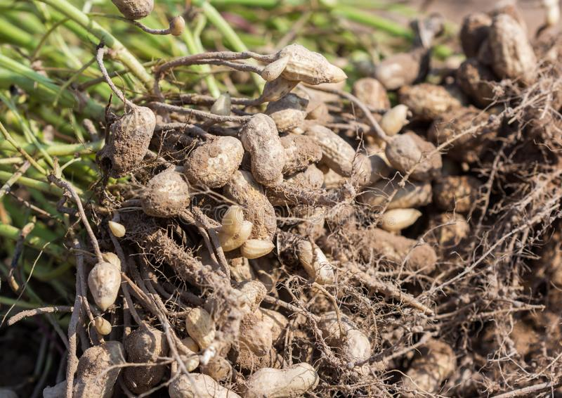 Peanut royalty free stock photography