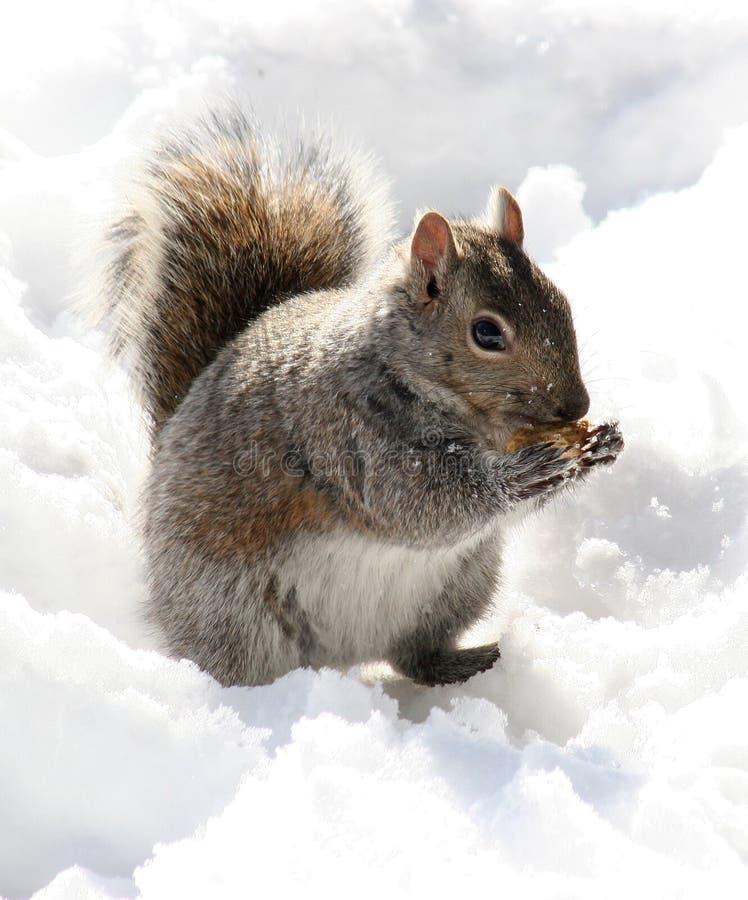 Download Peanut Muncher stock image. Image of peanut, squirrel, snow - 469315
