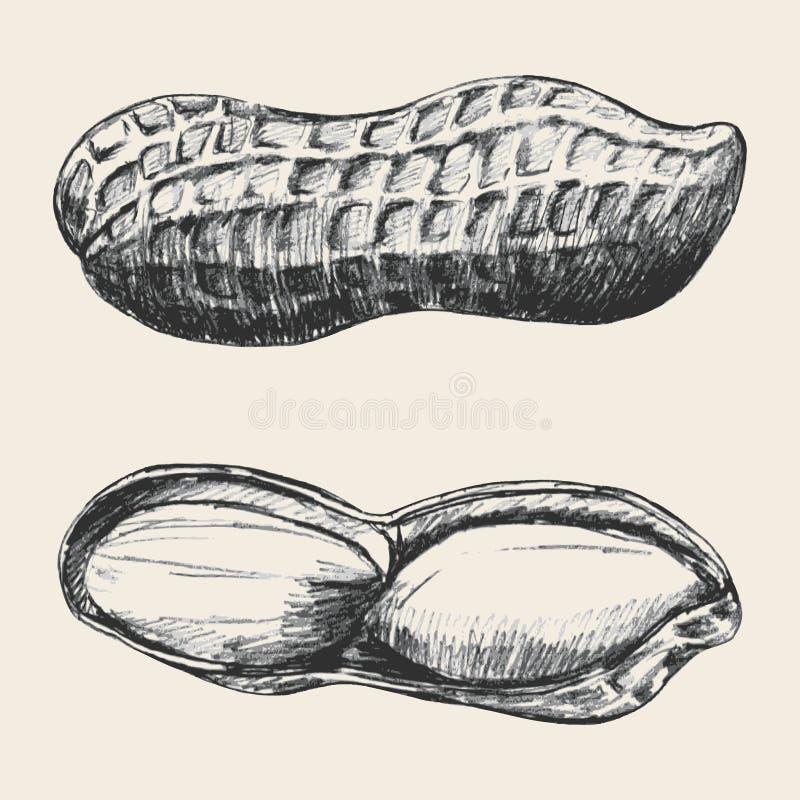 Peanut stock illustration