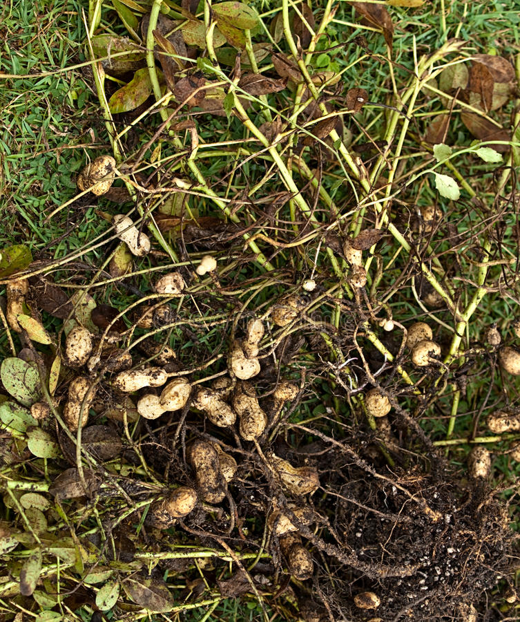 Peanut plant Arachis hypogaea royalty free stock images