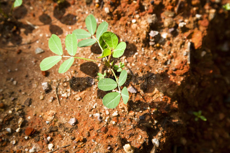 Peanut seedling royalty free stock image