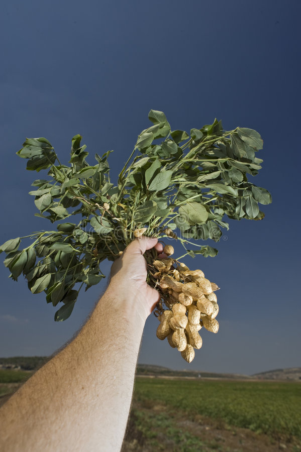 Download Peanuts in farmer hand stock image. Image of harvest, brown - 6335935