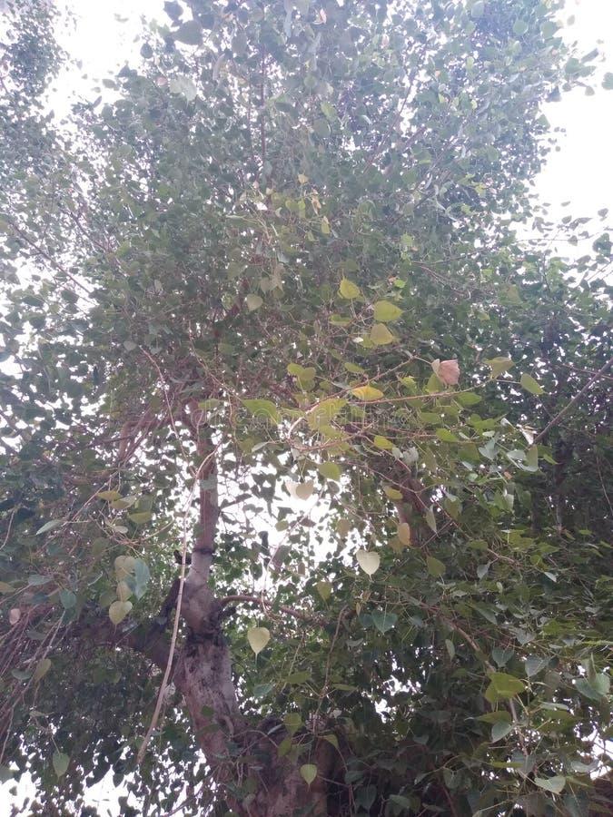 Peapal, arbre de religiosa de ficus de figue sacrée images stock