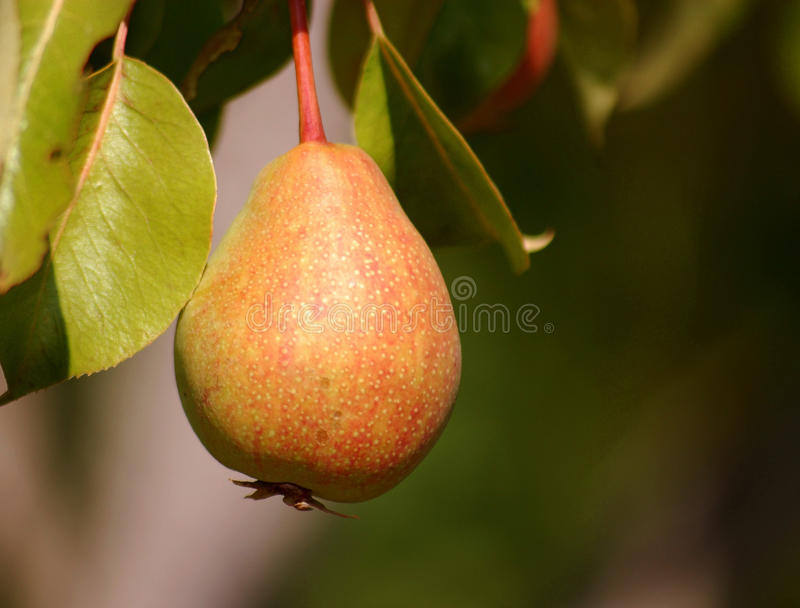 Pear royalty free stock images
