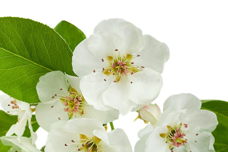 Pear bloom branch closeup on white stock photography