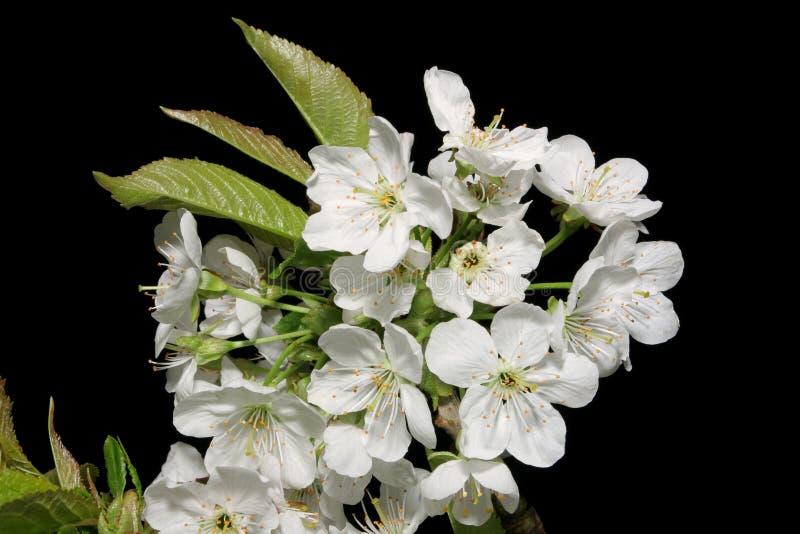 Pear Blossom royalty free stock photo