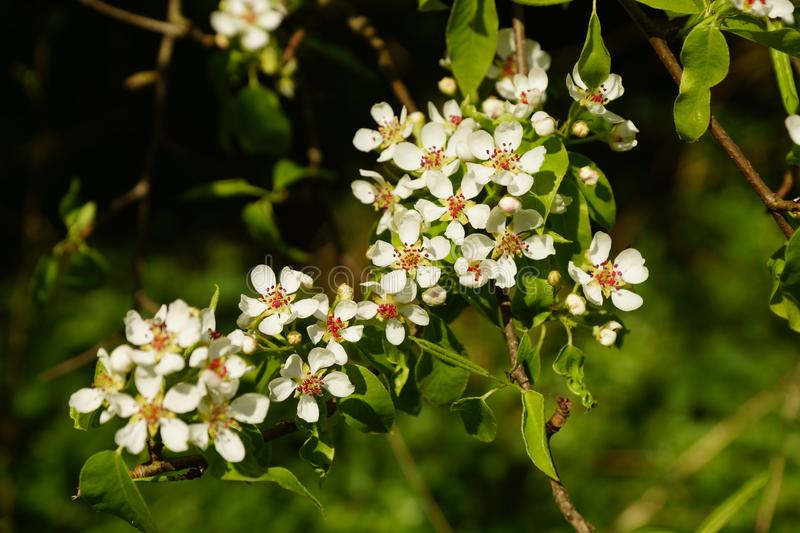 Pear Blossoms. Beautiful white pear blossoms in spring stock image