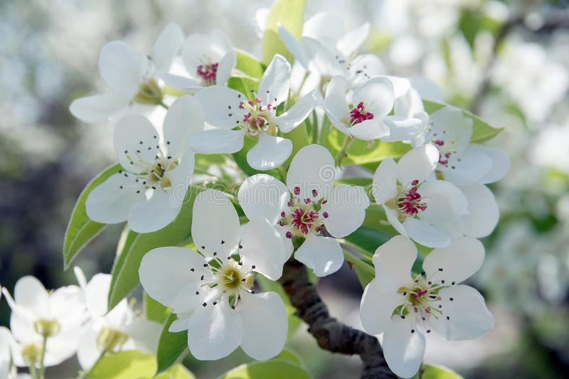 Pear blossoms. On the branch stock image