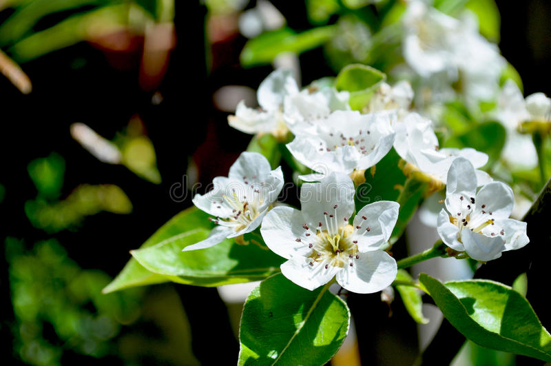 Pear blossoms branch. Full sun royalty free stock photo