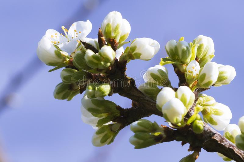 Pear Blossoms and Buds. Pear blossoms open up with the advent of spring stock images