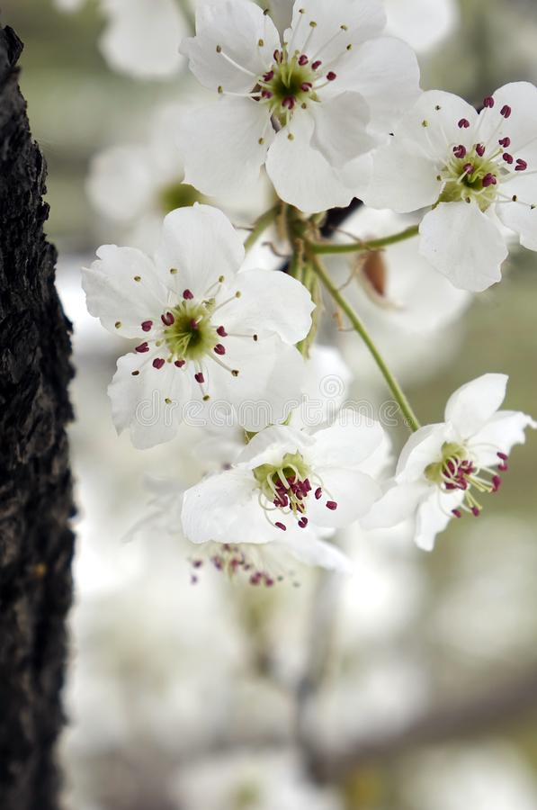 Pear blossoms in early spring. Close-up of the pear flowers blossoms in early spring ,it`s charming scenery stock photo