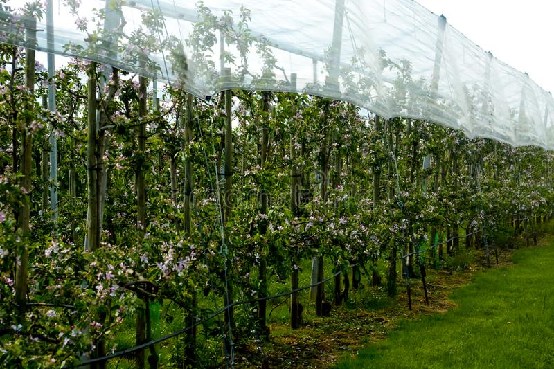 Pear blossoms, nets on top. Farming ground stock images