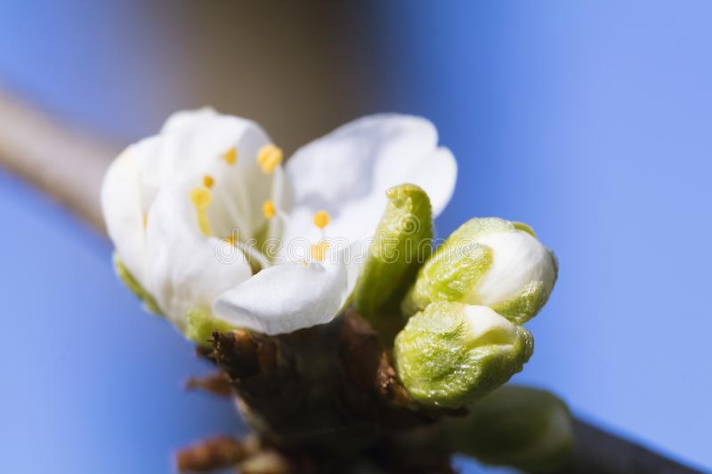 Pear Blossoms and Buds. Pear blossoms open up with the advent of spring stock photos