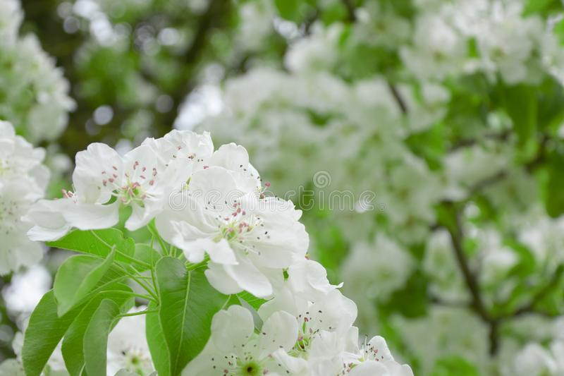 Pear blossoms over blurred nature background. Spring flowers.  royalty free stock photo