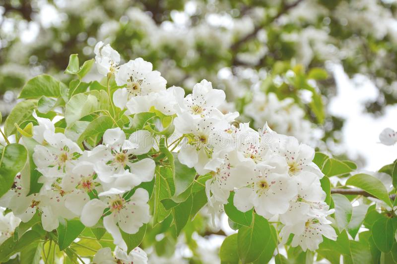 Pear blossoms over blurred nature background. Spring flowers.  stock images
