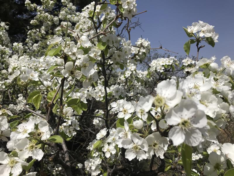 Pear Blossoms in Spring. 'spring,tree ,Scenery ,beautiful ,The Great Wall,Pear Blossoms in Spring stock photography