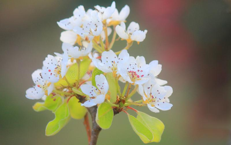 Pear blossoms in Spring. A branch with pear blossoms in Spring stock photography
