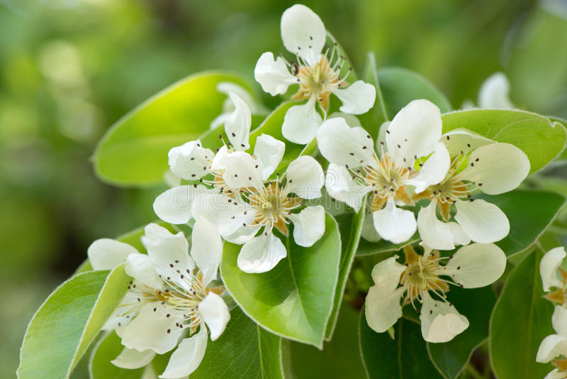 Pear blossoms. In spring closeup bright sunny day royalty free stock photography